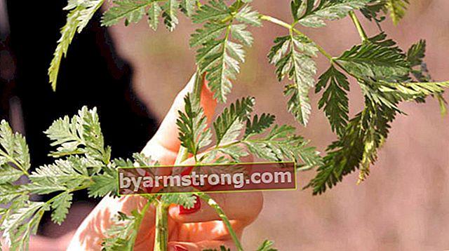 Quali sono i vantaggi di Hemlock Herb? Dove viene usata l'erba Hemlock?