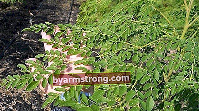 Come coltivare e riprodurre la pianta di Moringa? Quali sono i suoi vantaggi e caratteristiche?