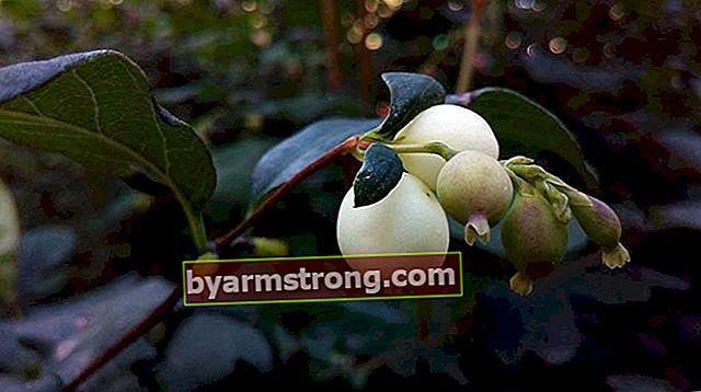 Fiore di perla: quali sono il suo significato, proprietà e vantaggi? Come mantenere?