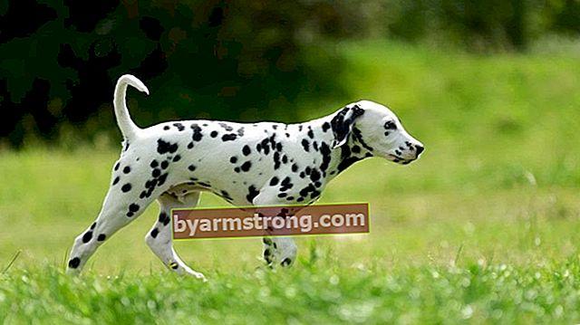 Quali sono i tratti del cane dalmata? Informazioni sulla razza di cane dalmata cucciolo