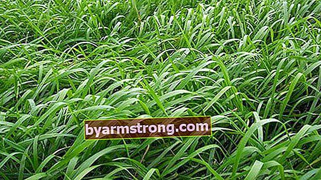 Apa Manfaat Cohosh? Bagaimana Cara Menggunakan Split Grass Plant?