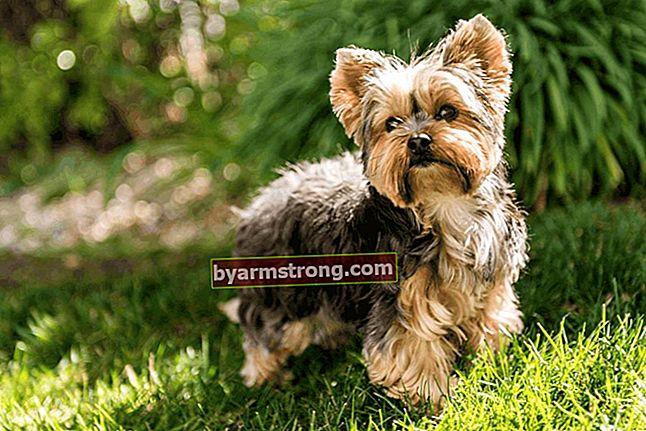 Apa ciri-ciri anjing Yorkshire Terrier? Informasi tentang Breed Puppy Yorkshire Terrier (Anjing Hias)