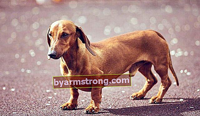 Apa Itu Sifat Anjing Dachshund? Informasi Tentang Breed Puppy Dachshund (Dachshund)