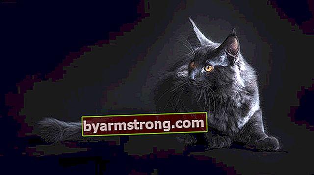 Quali sono le caratteristiche del Maine Coon? Come prendersi cura di un gattino Maine Coon?