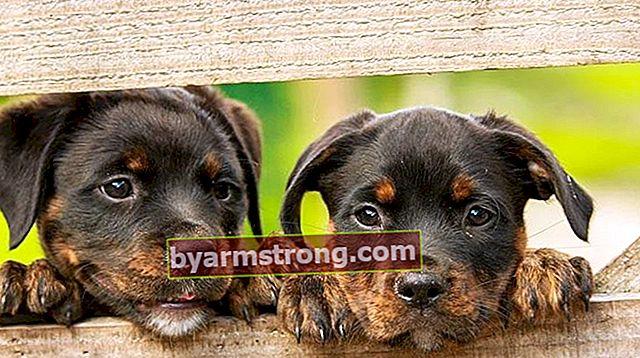 Rottweiler Dog 특성은 무엇입니까? 아기 썩은 품종에 대한 정보