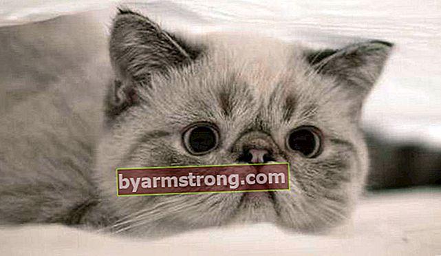Apa Saja Fitur Exotic Shorthair? Bagaimana Cara Merawat Anak Kucing Shorthair yang Eksotis?