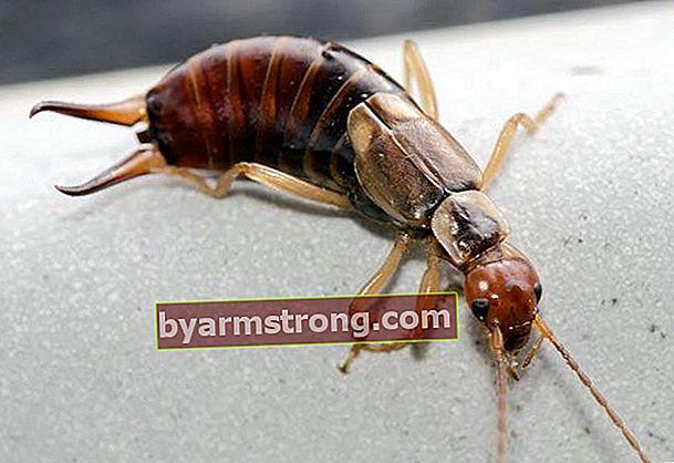 Apakah kumbang earwig berbahaya?