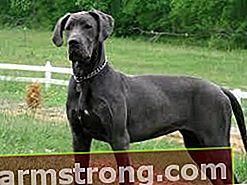 Quali sono i tratti del cane alano? Informazioni sulla razza del mastino tedesco del cucciolo