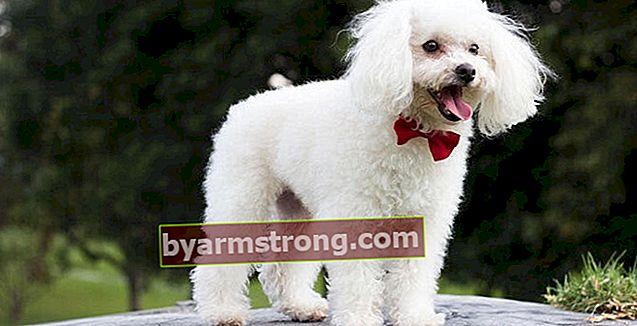 Quali sono le caratteristiche del cane barboncino? Informazioni sulla razza di cane ornamentale Kanis Puppy