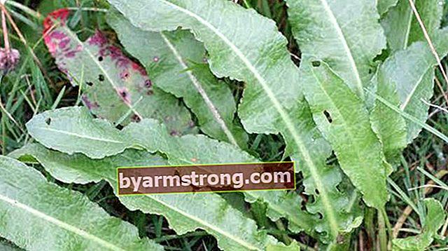 Quali sono i vantaggi di Evelik Herb? Dove viene utilizzata l'erba di erbe?