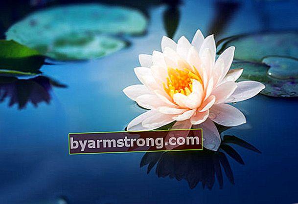 Cos'è un fiore di loto? Dove cresce?