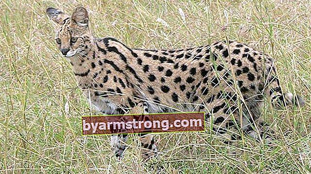Apa Karakteristik Kucing Savannah? Bagaimana Cara Merawat Kucing Savannah Anak Kucing?