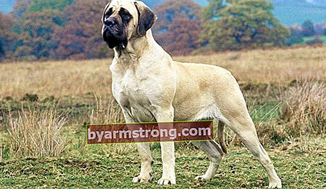 Apa Sifat Anjing Mastiff? Informasi Tentang Puppy British Mastiff Breed
