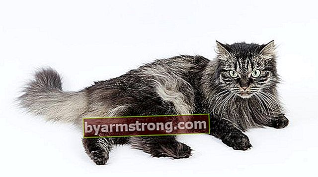 Apa Sifat Kucing Siberia? Bagaimana Cara Merawat Anak Anjing Kucing Siberia?