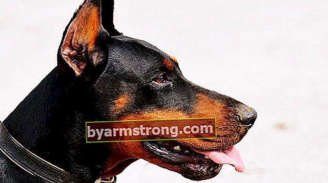 Quali sono i tratti del cane doberman? Informazioni sulla razza del cucciolo di doberman