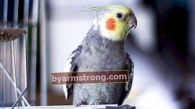 Apa Spesies dan Nama Burung Beo? Jenis dan Ciri Burung Beo