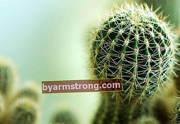Il cactus assorbe le radiazioni?