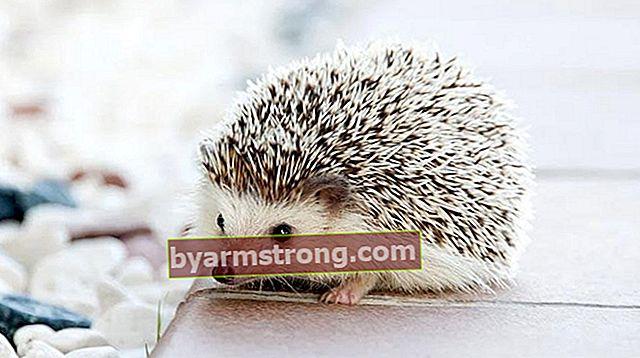 Cosa significa vedere Falda Hedgehog? Cosa significa quando la forma di un riccio appare nei cupcakes al caffè?