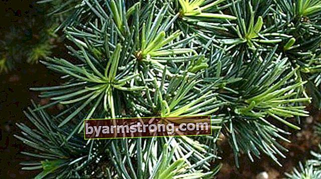 Apa Ciri-ciri Pokok Cedar, Bagaimana Ia Ditanam?
