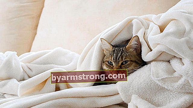 Apa itu demam kucing dan bagaimana rawatannya?