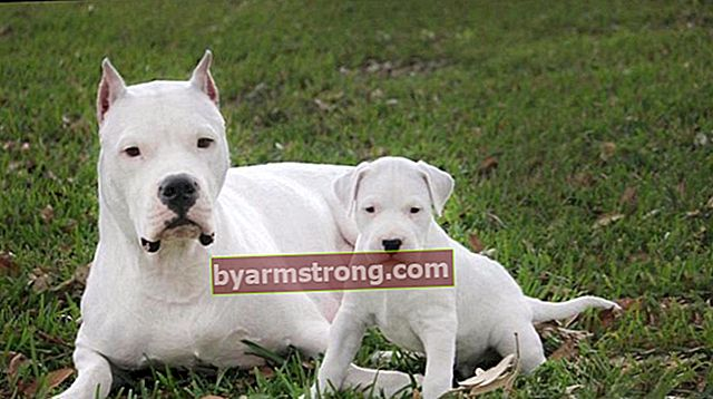 Apakah ciri Dogo Argentino Dog? Maklumat mengenai anak anjing Dogo Arjentino Breed