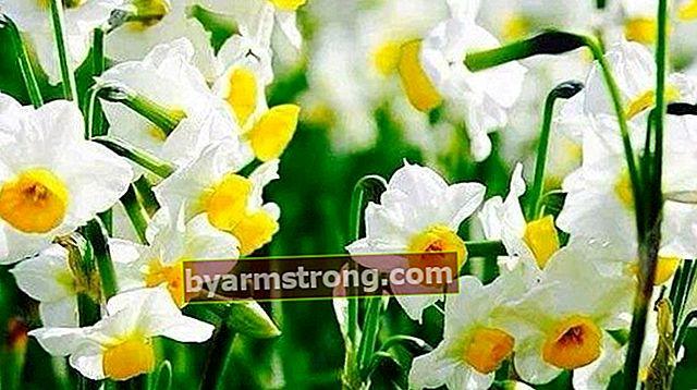 Bunga Narcissus: Apa Makna, Sifat dan Faedahnya? Bagaimana Menjaga?
