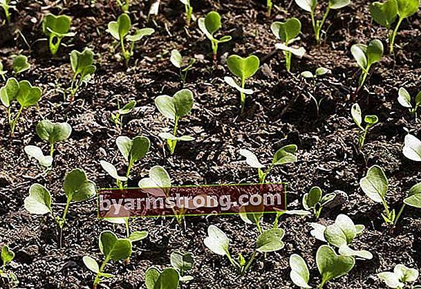 Quali verdure vengono piantate in quale mese? Quando piantare carote, piselli, spinaci, pomodori, ravanelli, patate, cipolle ...