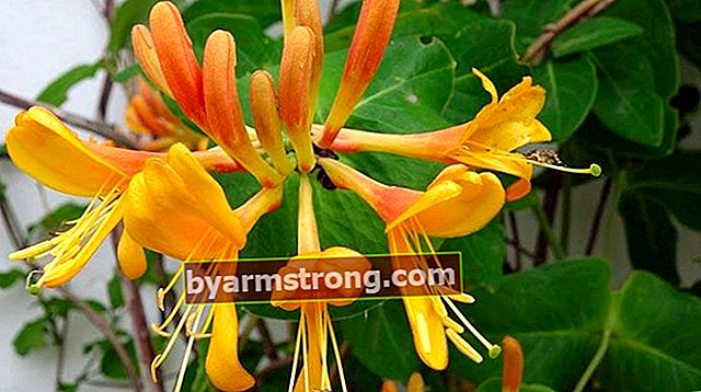 スイカズラの花:その意味、特性、利点は何ですか?維持する方法は?