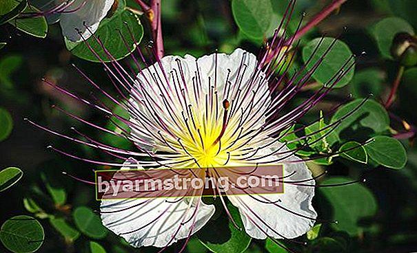Khasiat bunga caper