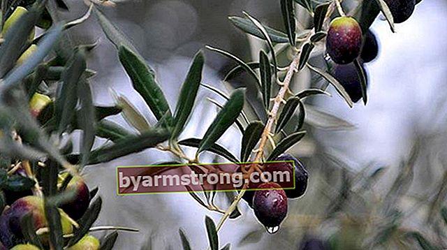 オリーブの木の特性とは何ですか?どのように育てられますか?