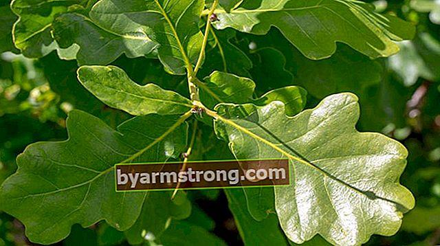 Quali sono le caratteristiche di una quercia, come viene coltivata?