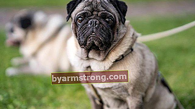 Quali sono i tratti del Pug Dog? Informazioni sulla razza Puppy Pug
