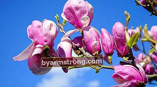 Fiore di magnolia: quali sono il suo significato, proprietà e vantaggi? Come mantenere?