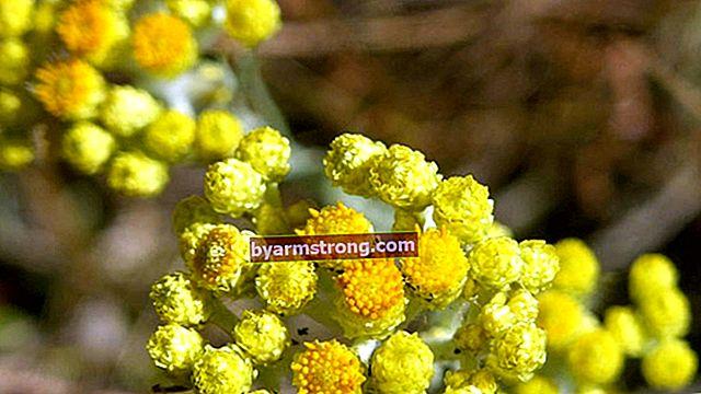 Quali sono i vantaggi di Golden Herb? Come preparare il tè all'erba d'oro?