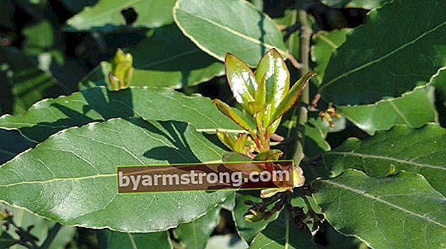 Quali sono le proprietà dell'albero di alloro e come viene coltivato?