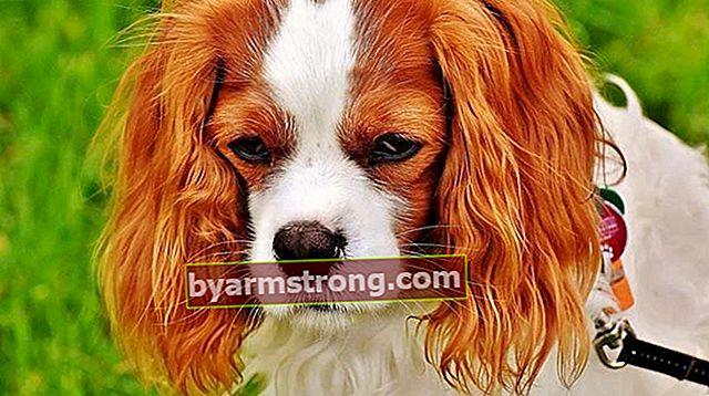 キングチャールズ犬の特徴は何ですか?子犬キャバリアキングチャールズスパニエルの品種に関する情報