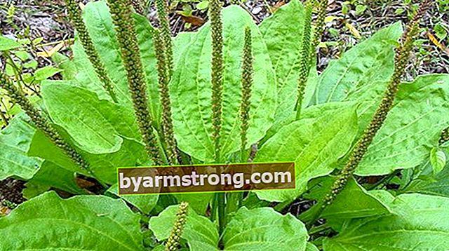 Quali sono i vantaggi di Nerve Herb? Come preparare il tè alla piantaggine?