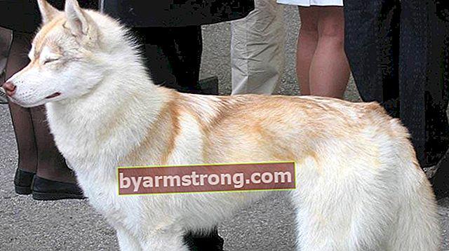 Quali sono i tratti del cane husky siberiano? Informazioni sulla razza Puppy Husky