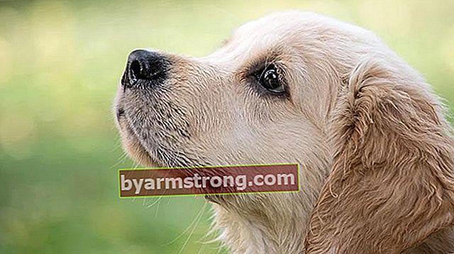 Quali sono i tratti del cane Golden Retriever? Informazioni sulla razza Golden Puppy