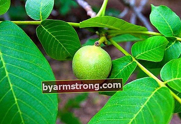 Khasiat daun walnut