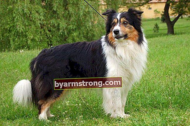 Quali sono i tratti del cane Border Collie? Informazioni sulla razza cucciolo Border Collie