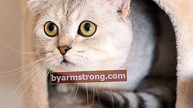 スコティッシュフォールドの特徴は何ですか?子猫スコティッシュ(スコットランド)猫の世話をする方法は?