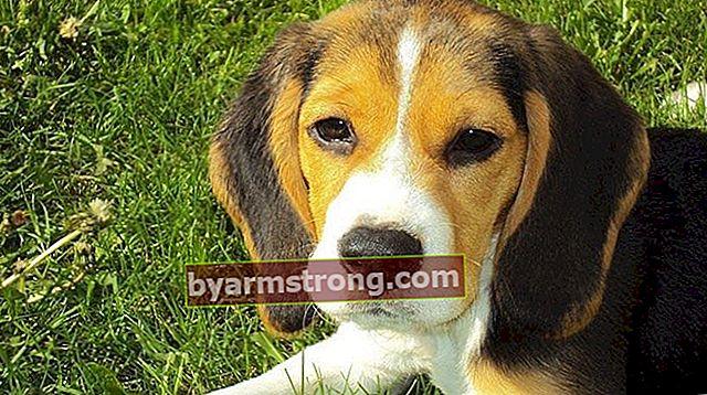 Quali sono i tratti del cane Beagle? Informazioni sulla razza Puppy Beagle