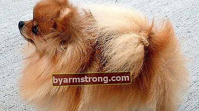 Apa Sifat Anjing Pomeranian Boo? Informasi tentang Puppy Pom (Pomeranian) Breed