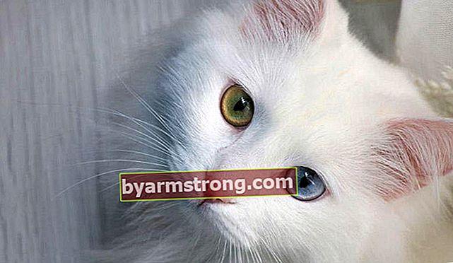 ลักษณะของ Van Cat คืออะไร? วิธีการดูแล Kitten Van Cat?