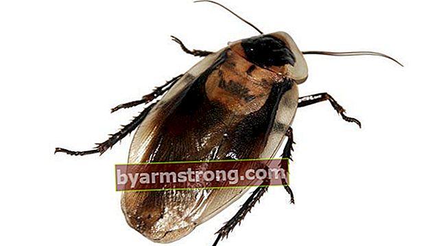 วิธีกำจัดแมลงสาบ วิธีกำจัดแมลงสาบ