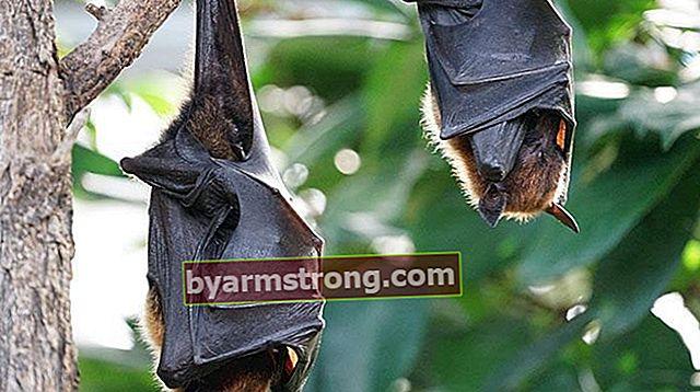 Cosa significa vedere un pipistrello a Falda? Cosa significa quando appare la forma di un pipistrello nella tazza di caffè?
