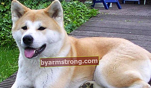 Apa Sifat Anjing Akita? Informasi Tentang Puppy Akita Inu Breed