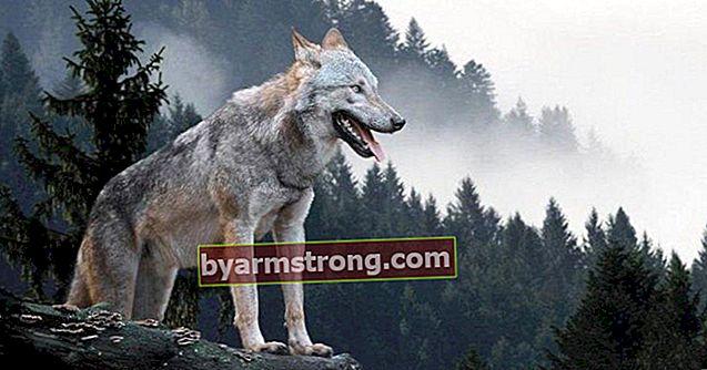 Apa Artinya Melihat Serigala di Falda? Apa Artinya Ketika Bentuk Serigala Muncul di Cupcake Kopi?